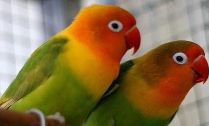 bisnis-obat-burung-yohanes-chandra-2